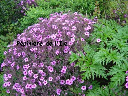Graine geranium maderense - Graine de geranium ...